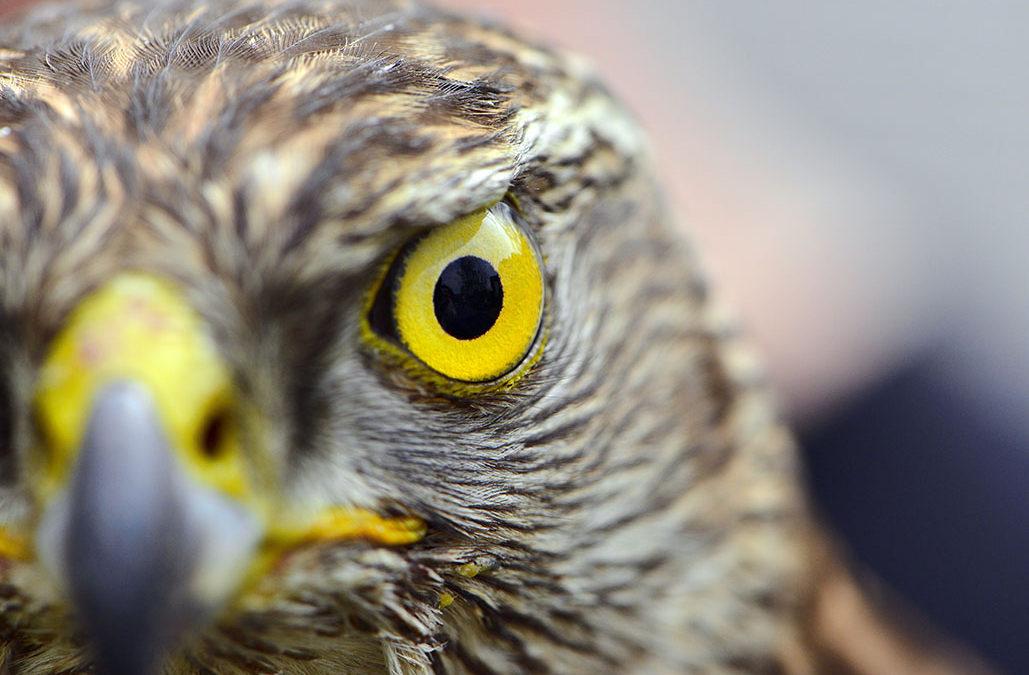 falcons eye