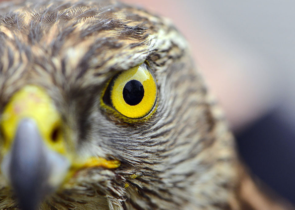 falcons eye